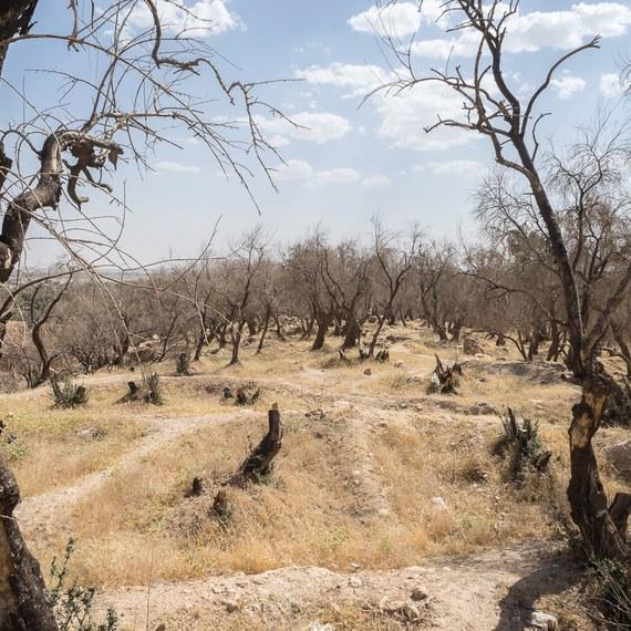 Réhabilitation de l'oliveraie de Cheikhr à Bahzani