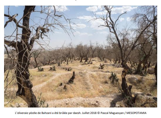 Réhabilitation de l'oliveraie de Cheikhr, à Bahzani – Irak